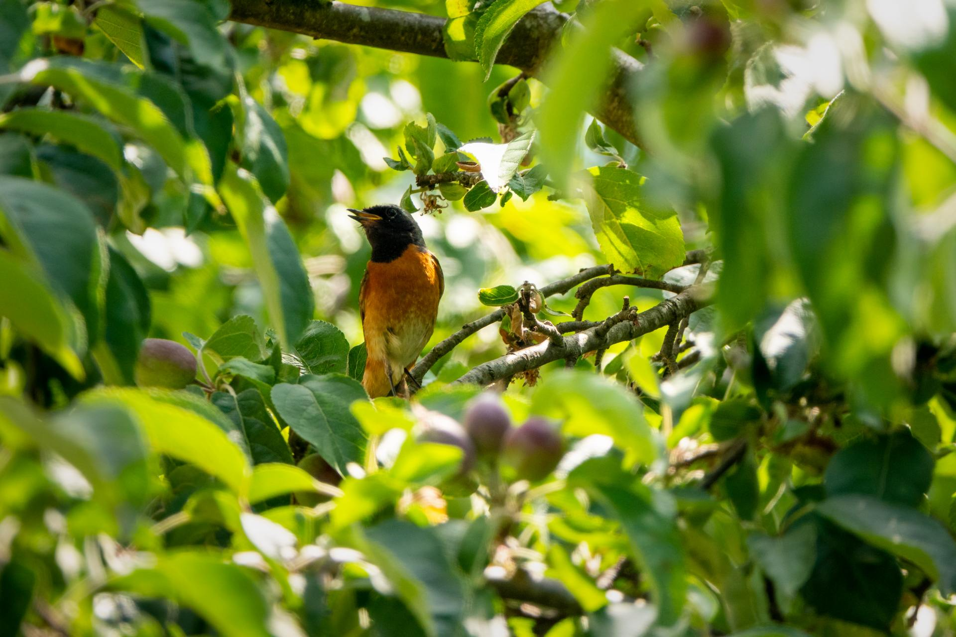 Redstarts are identifiable by their bright orange-red tails. Breeding males look smart, with slate grey upper parts, black faces and wings and an orange rump and chest.