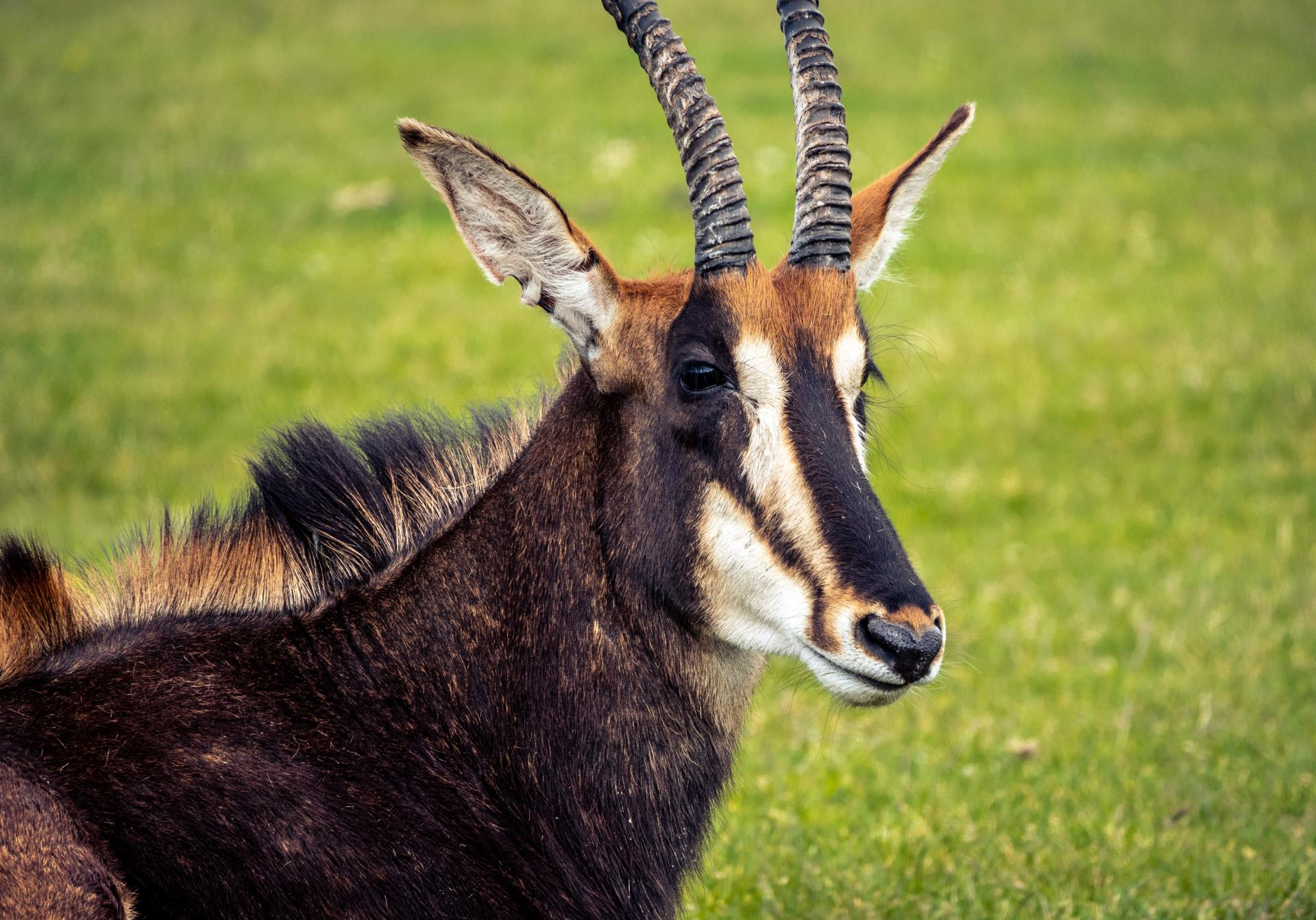 The roan antelope (Hippotragus equinus) is a savanna antelope. The Roan Antelope is found in West and Central Africa.